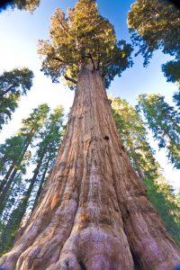 Sequoia della California, orpello del Marchese che esprime la sua possanza