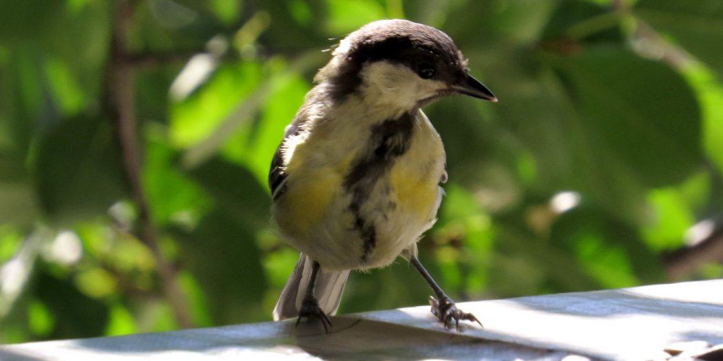 Fotografia di una cinciallegra che contempla (o meglio ustola) dei semi